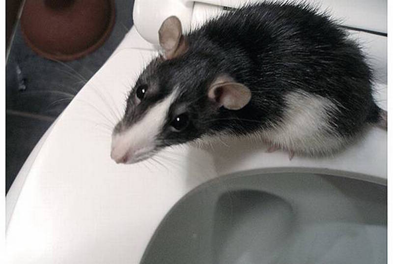 Rat climbs up via the toilet bowl